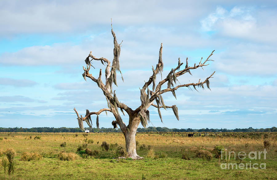 Lone Tree With Spanish Moss by Les Palenik