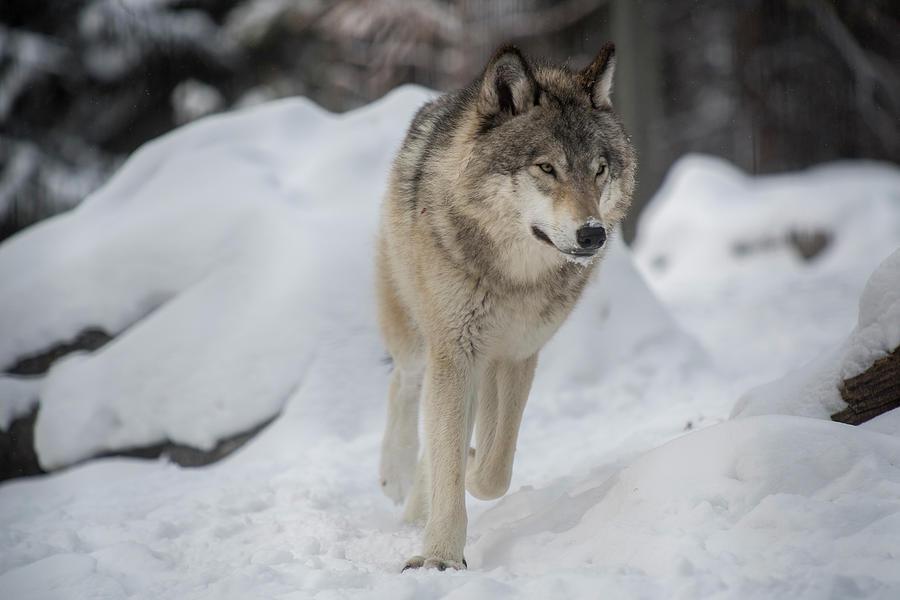Lone Wolf by Bill Cubitt