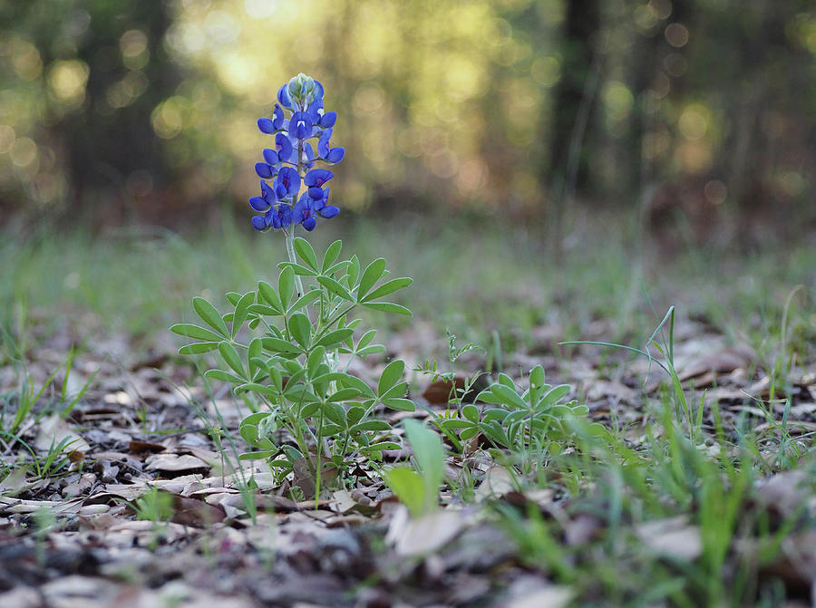 Lonely Bluebonnet by Deckmans World