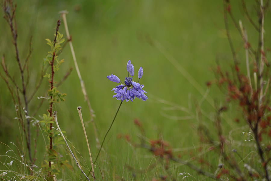 Lonely Camas by Whispering Peaks Photography