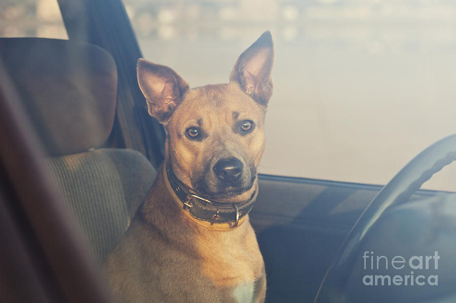 Hot Photograph - Lonely Dog Waiting In The Car by Maria Komar