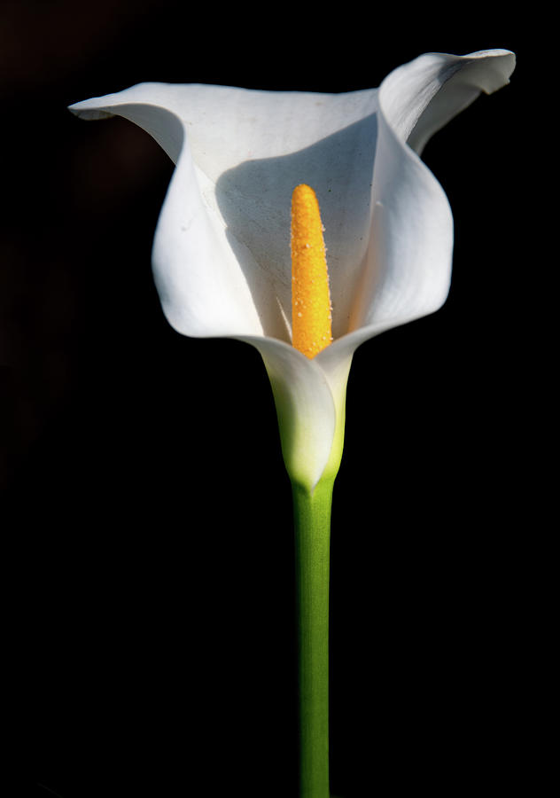 Canvas Wall Art Pictures For Home Interiors Lonely Calla Lillies