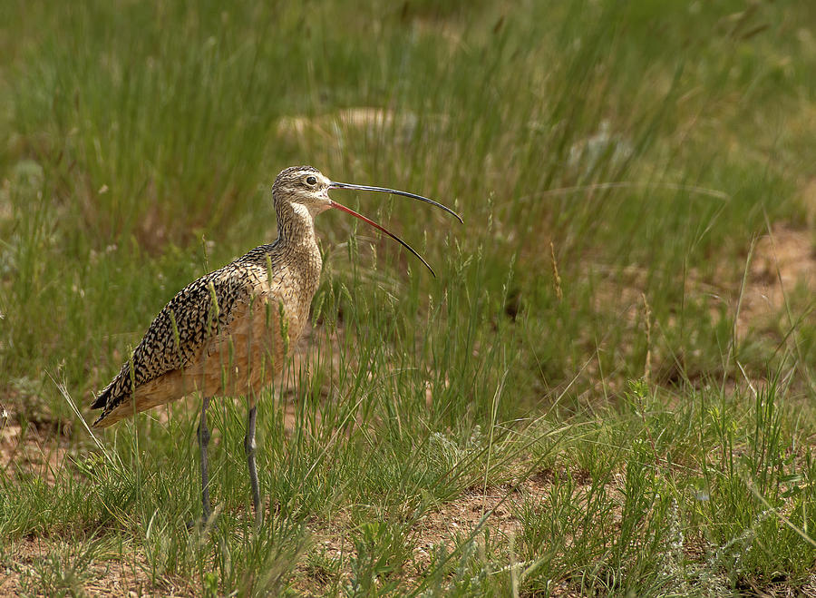Long-billed Curlew by Gary Beeler