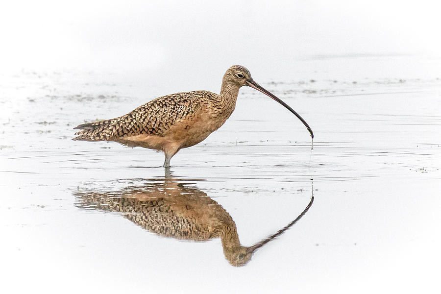 Long-billed Curlew by James Capo