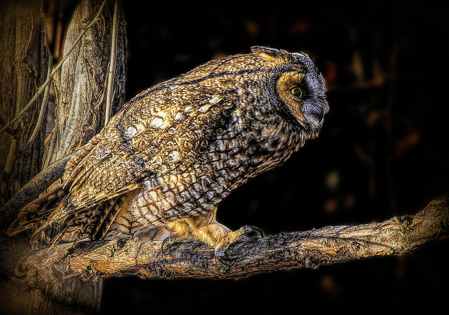 Long Eared Owl on Limb by Lowell Monke