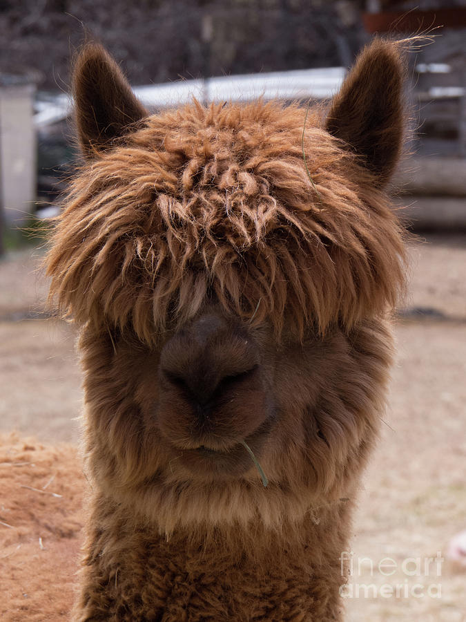 Long Haired Alpaca Face by Christy Garavetto