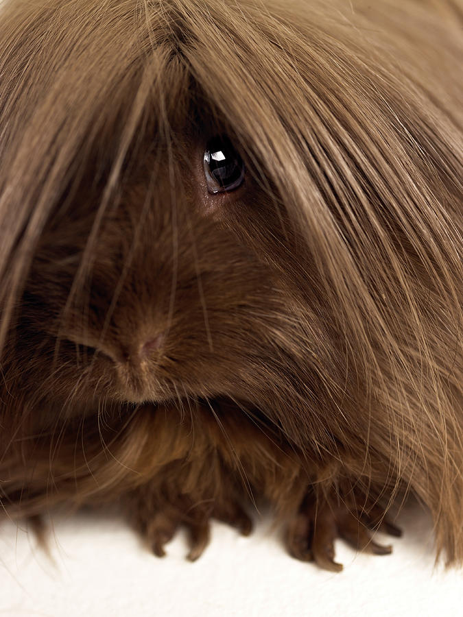 Long Haired Guinea Pig, Close-up Photograph by Michael Blann
