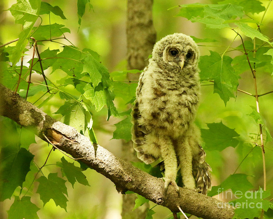 Owl Portrait Photograph - Long legs by Heather King
