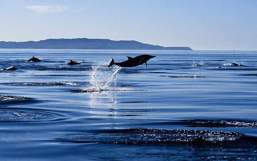 Long-nosed Common Dolphin,delphinus Photograph by Gerard Soury