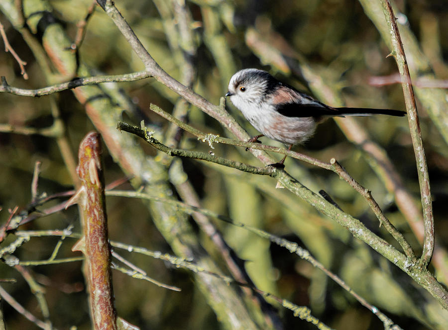 Long Tailed Tit by Scott Lyons