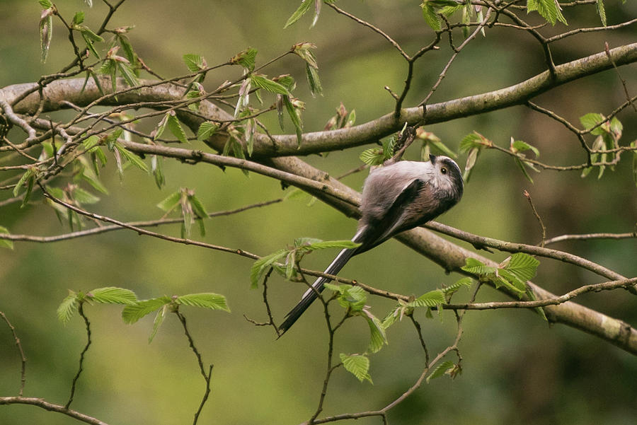 Long Tailed Tit by Wendy Cooper