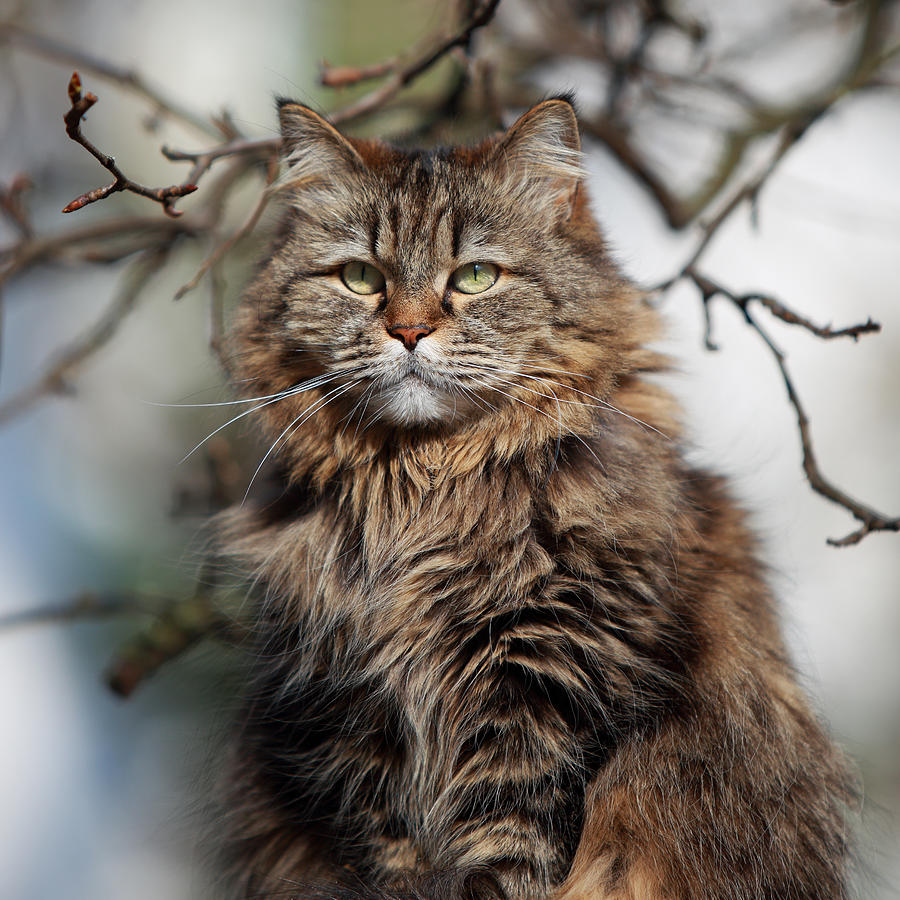 Longhair Cat In Sunshine Photograph by Achim Mittler, Frankfurt Am Main