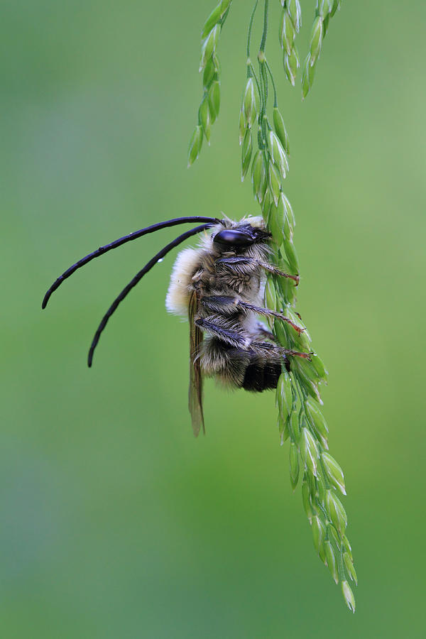 Bee Photograph - Longhorn Bee by Giorgio Perbellini