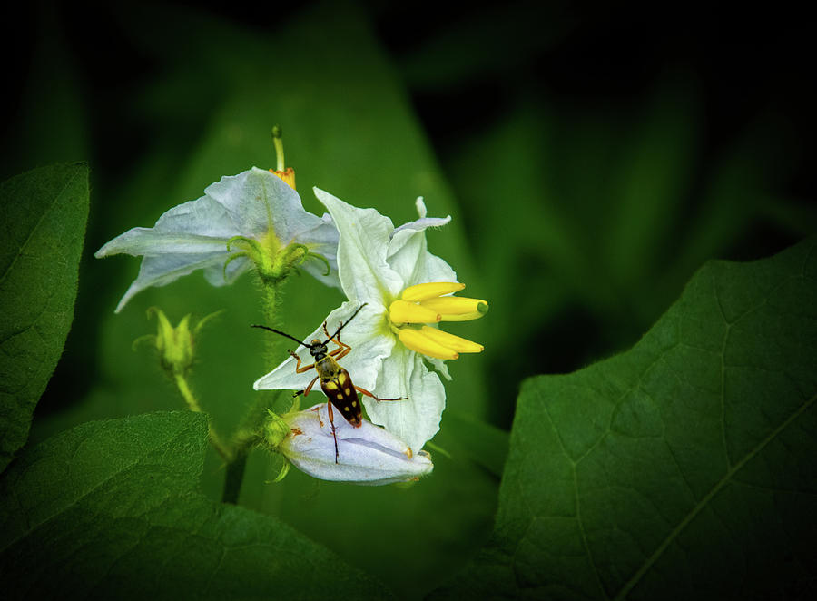 Longhorn Beetle on Horsenettle Flowers by Carolyn Derstine