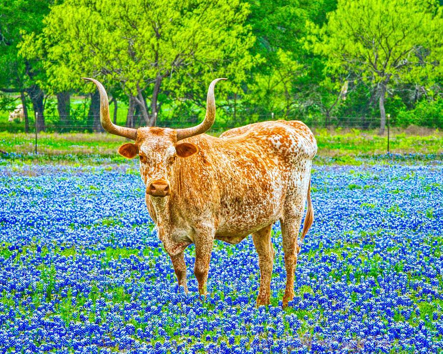 Longhorn Steer in Bluebonnet Wildflowers by Philip Duff