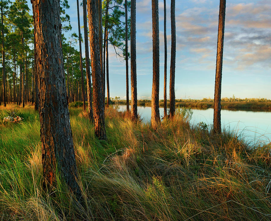 Longleaf Pines, Sopchoppy River, Ochlockonee River State Park, Florida by Tim Fitzharris