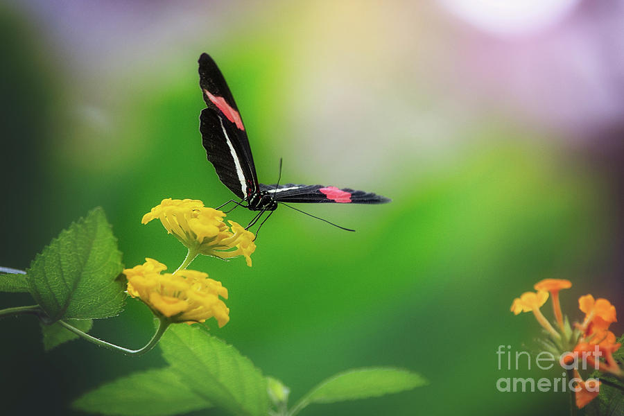 Longwing Butterfly by Sharon McConnell