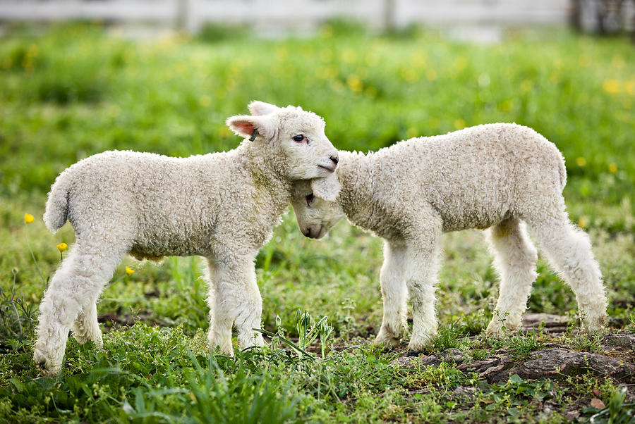 Longwool Lambs by Rachel Morrison