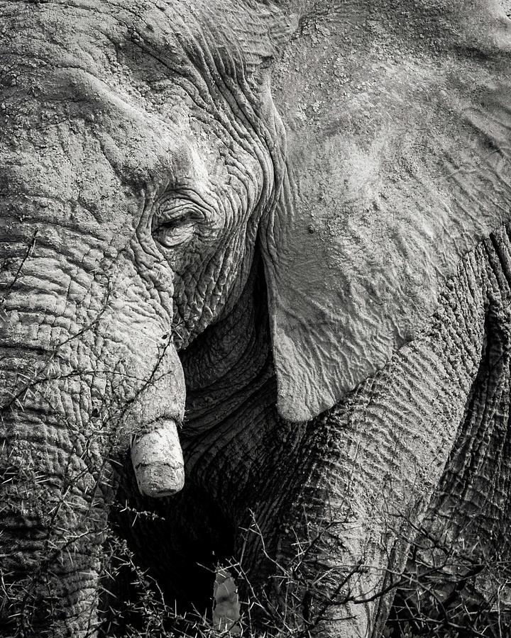 2018 Photograph - Look of an elephant by Dalibor Hanzal