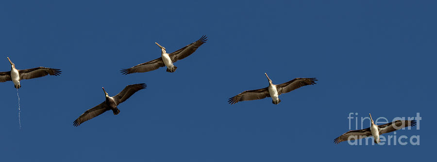 Pelicans Photograph - Look Out Below by Shawn Jeffries