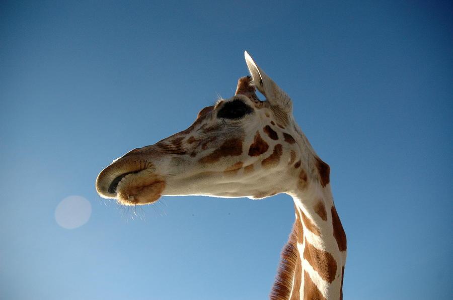 Looking Up At A Giraffe Photograph by Kaishin Chu | Onelushlife