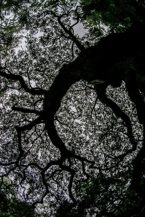 looking up at an oak tree with wonderment by Sven Brogren