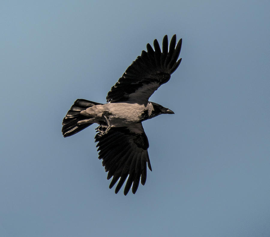 Looking Up At Flying Hooded Crow by William Bitman