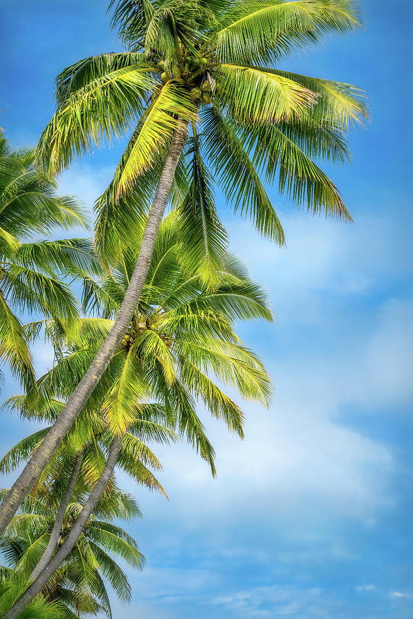 Looking up at some beautiful coconut palm trees by Daniela Constantinescu