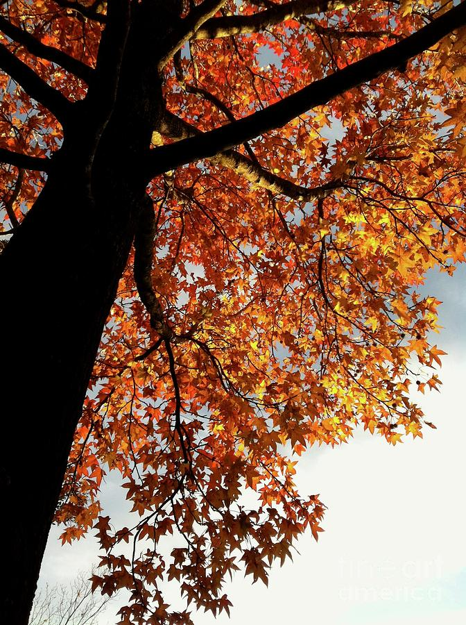 Looking Up At Tree With Orange Yellow Fall Leaves Photograph By