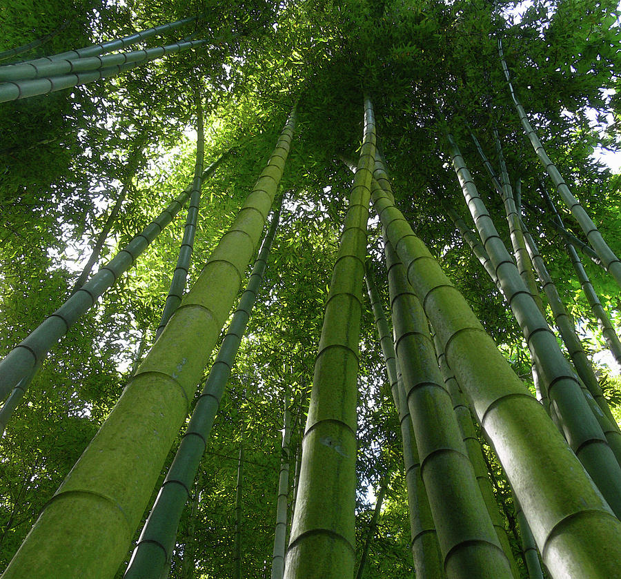 Looking Up Bamboo By Paul Grand Image