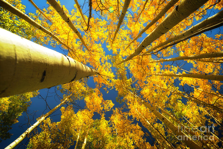 Looking up into the Aspen Grove Trees by Ronda Kimbrow
