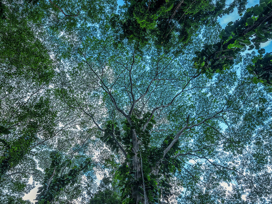 Looking Up Into The Canopy Of Trees by Robert Postma