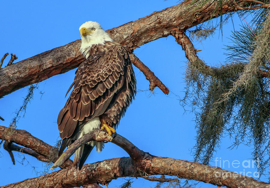 Lookout Eagle by Tom Claud