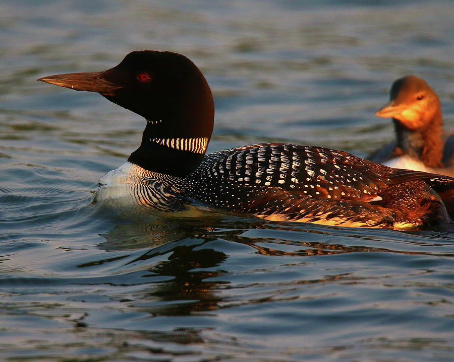 Loon Family at Sunset by Arvin Miner