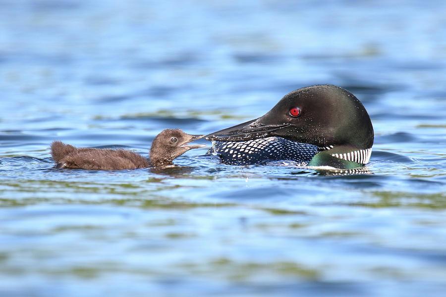 Loon, wildlife by Brook Burling