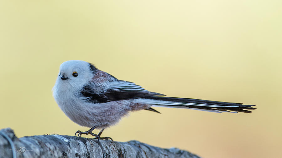 Looong Tailed Tit Photograph