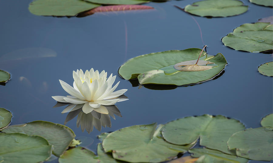 Lotus Flower F by Jim Dollar