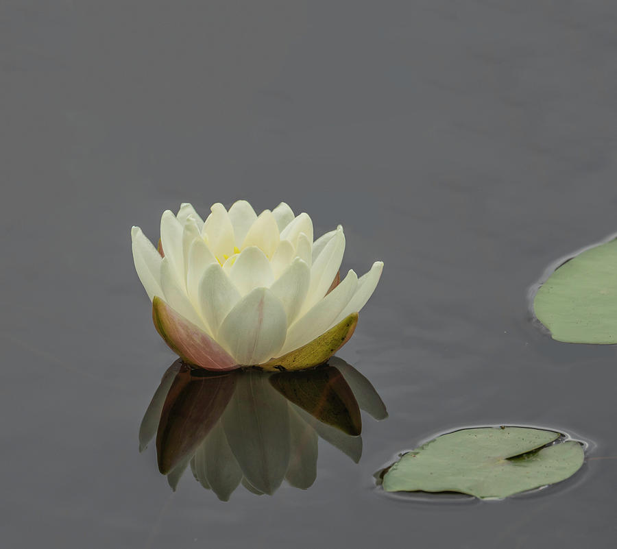 Lotus Flower H by Jim Dollar