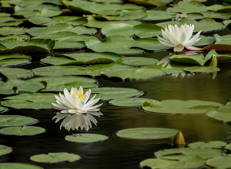 Lotus Flowers A Panorama by Jim Dollar