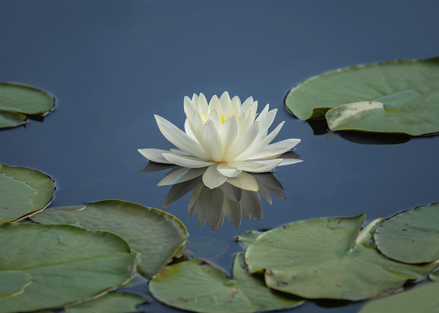 Lotus Flowers B by Jim Dollar