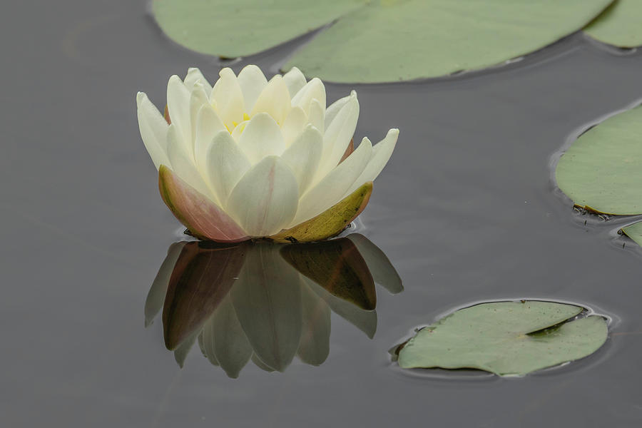 Lotus Flowers C by Jim Dollar