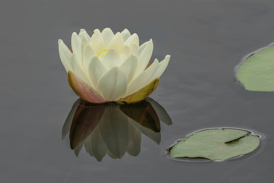 Lotus Flowers D by Jim Dollar