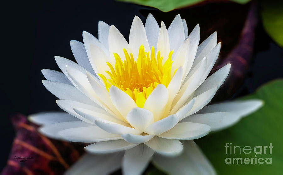 Flower Photograph - Lotus Gold by Marvin Spates