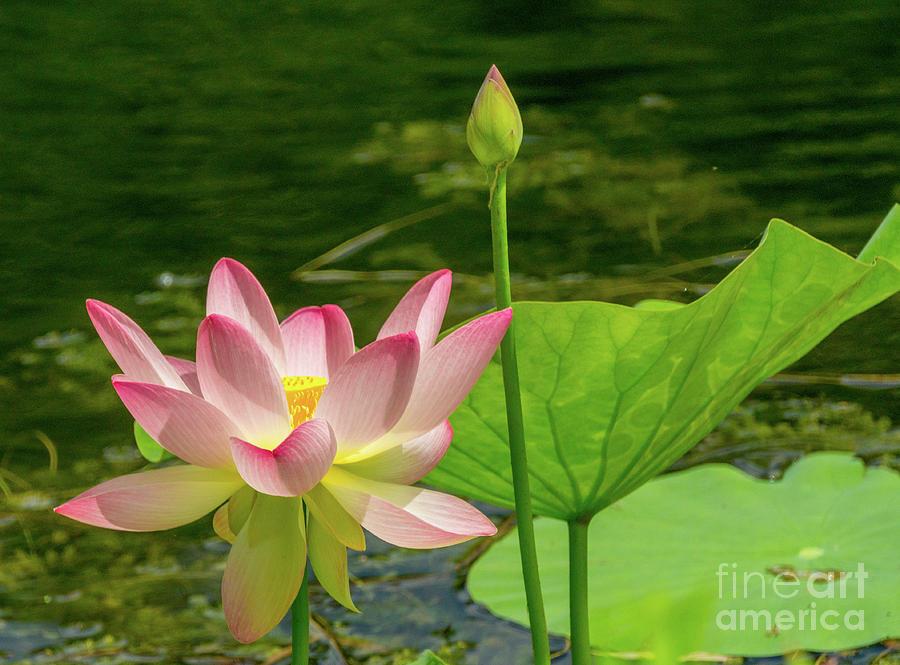 Lotus in the wind by Annerose Walz