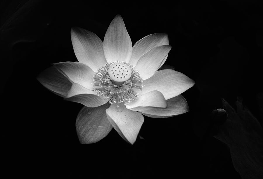 Lotus Photograph by Jimmy Tsang