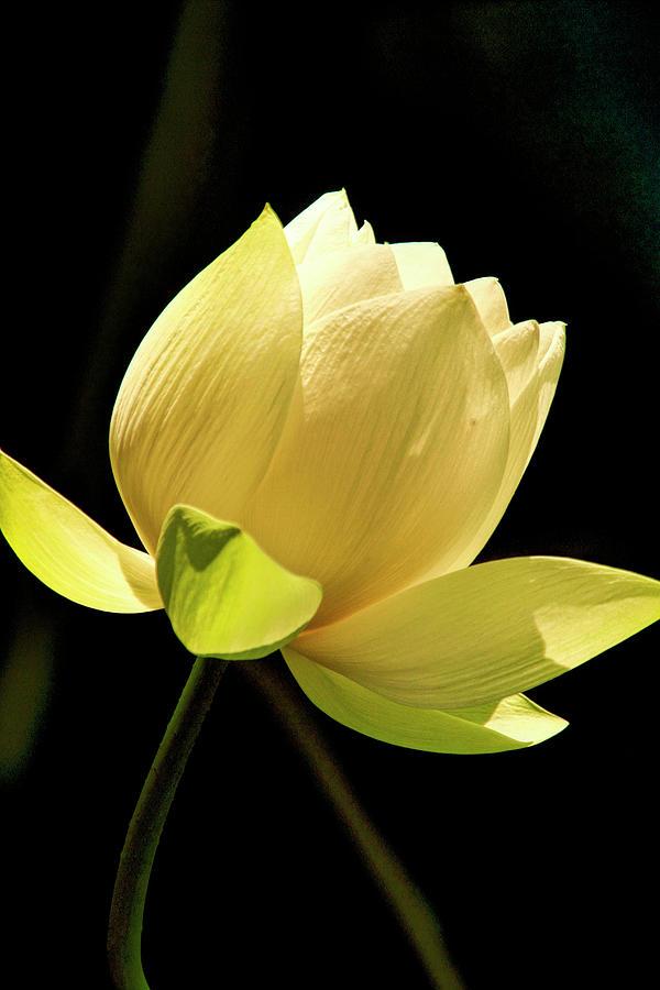 Lotus On Black Background Photograph