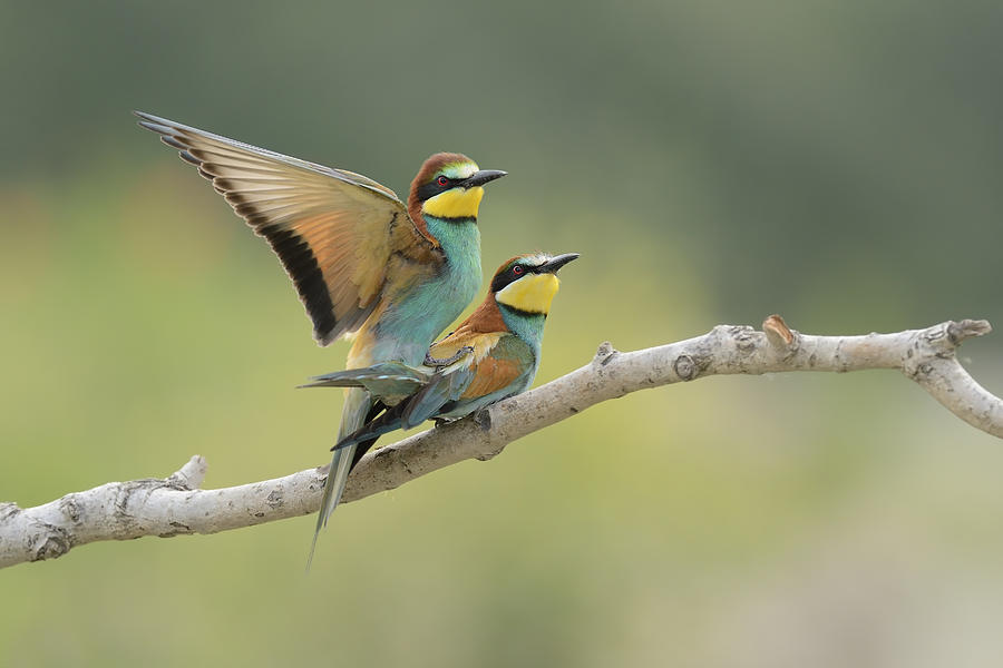 Bee Eater Photograph - Love Is In The Air by Marco Pozzi