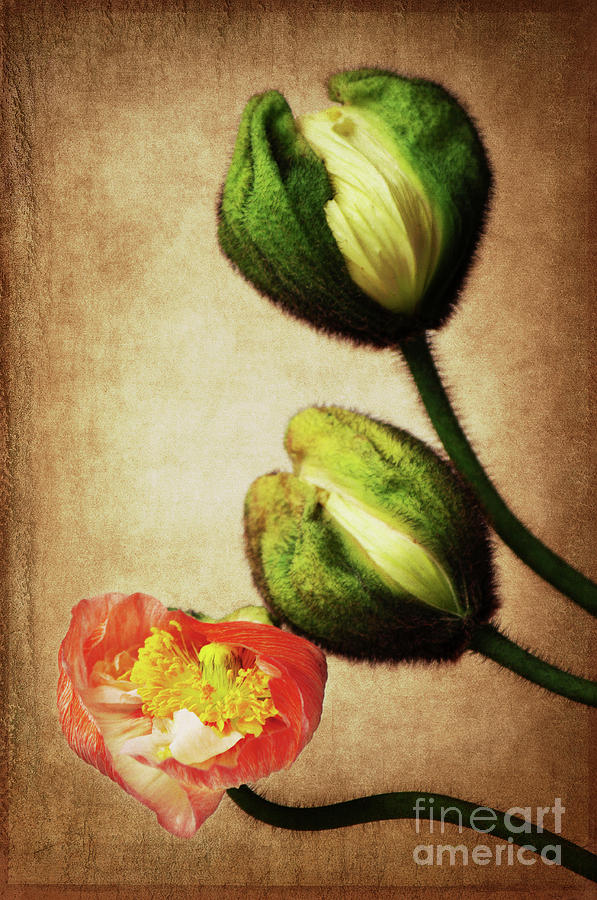 Love poppies by Angela Doelling AD DESIGN Photo and PhotoArt