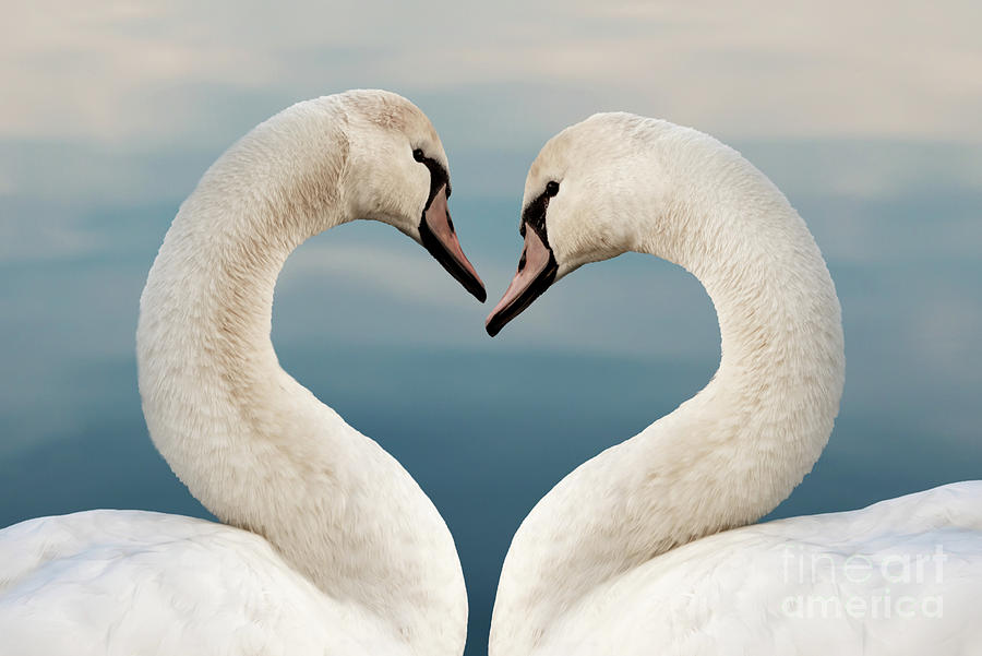 Love Photograph - Love Swans by Delphimages Photo Creations