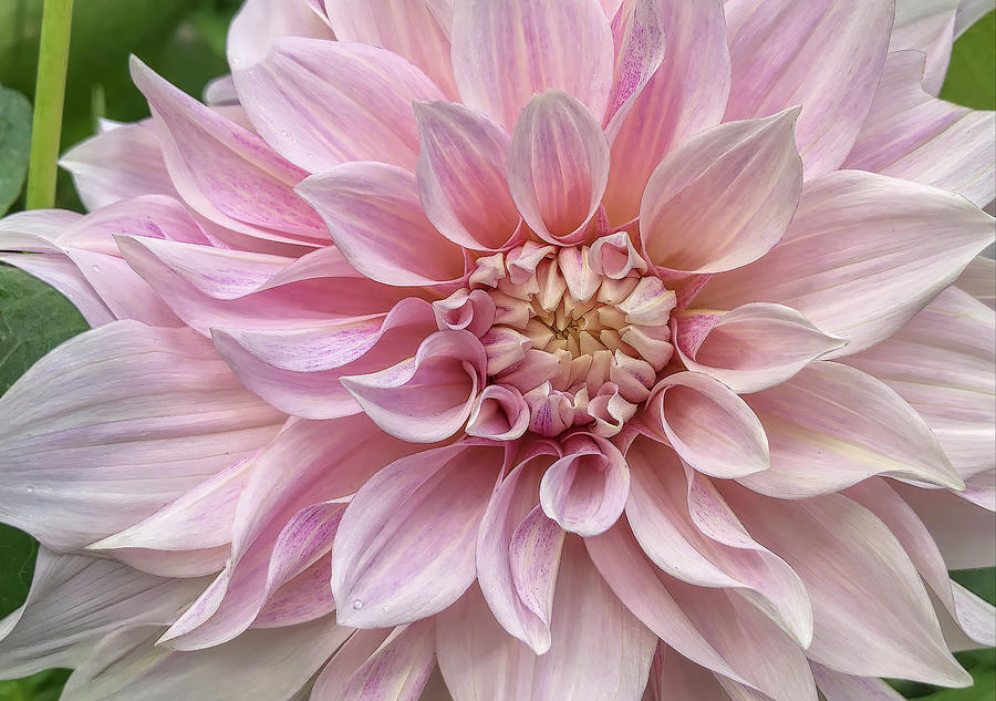 Lovely Dahlia by Claire Turner